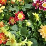Sommerblumenabgabe Bundesgärten